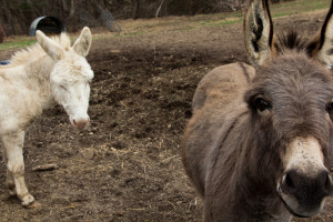 miniature donkeys in tennessee